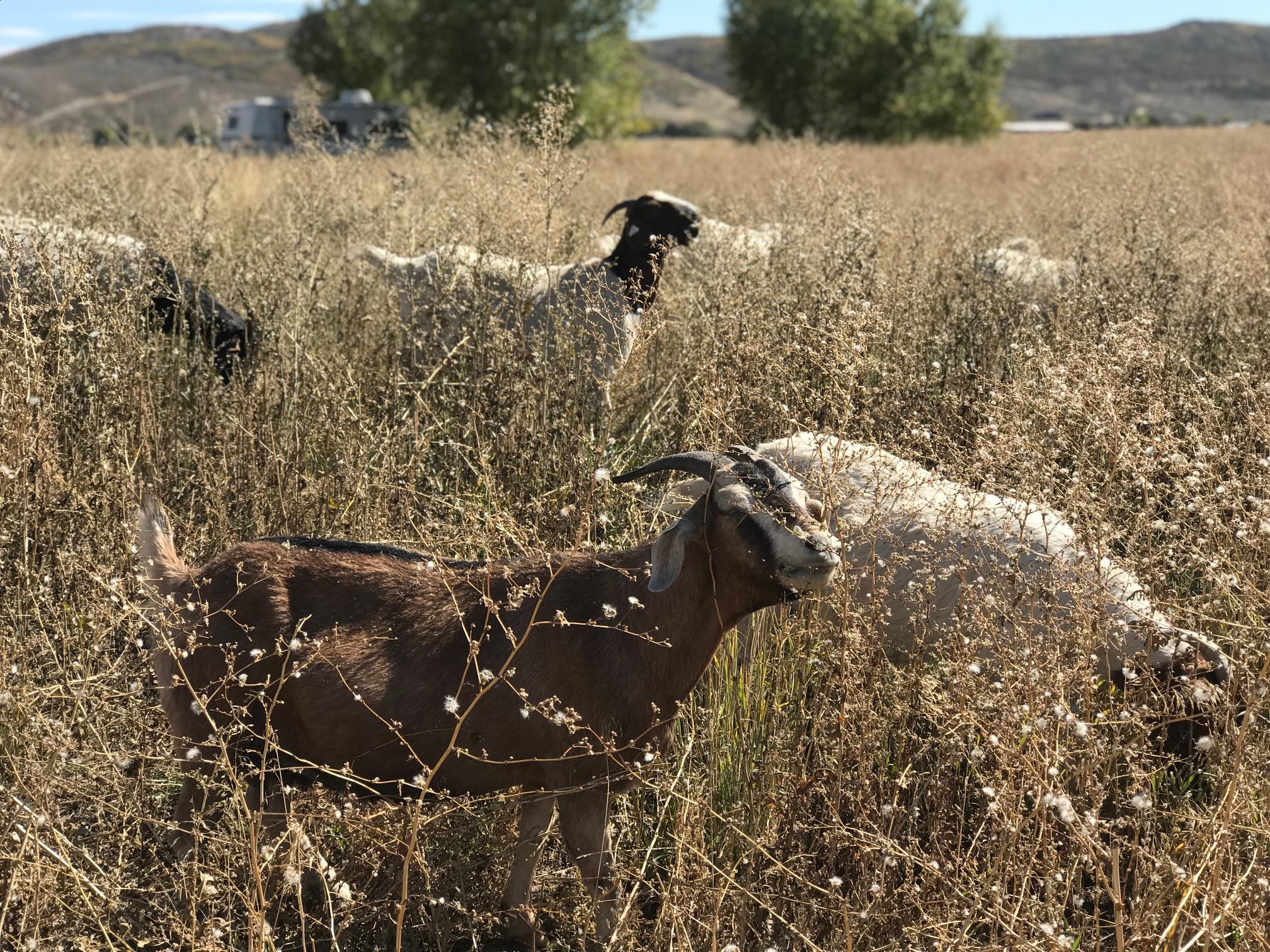 Sheep standing in tall grass